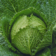 Cabbage F1 Tundra - 50 seeds